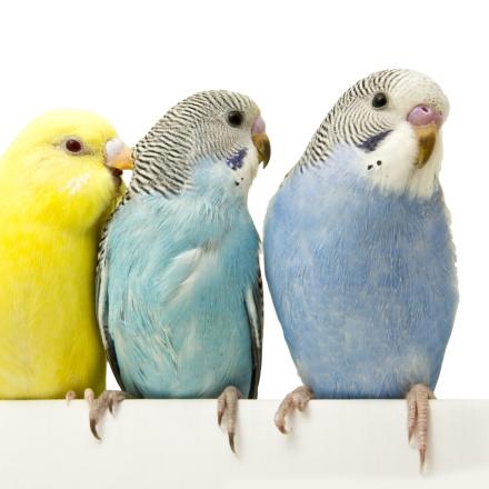 Pet Bird Information