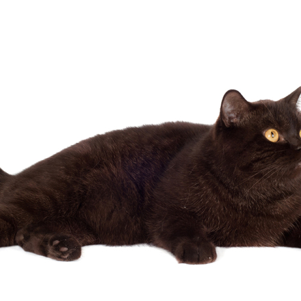 Obesity in Cats: Prevention and Management