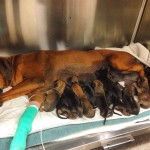 Bell and her newborn puppies